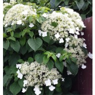 Hydrangea petiolaris - Climbing Hydrangea - Extra Large 6-7ft Plant