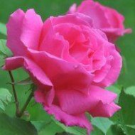 Large 5-6ft Specimen - Climbing Rose Zephirine Drouhin - The Thornless Rose