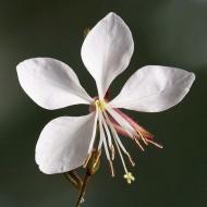 Gaura lindheimeri The Bride - 'Whirling Butterflies' Plant