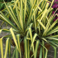 Yucca Colour Guard - Variegated Adams Needle
