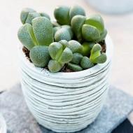 Genuine Living Stones - Lithops Pleiospilos nelli - Intriguing Succulent Plant