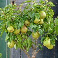 Patio Fruit Tree - Compact Williams Pear Tree