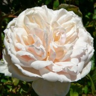 Rose Madame Alfred Carriere - Climbing Rose