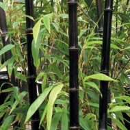 Phyllostachys nigra - Black Bamboo - Large Approx 6ft Tall Plants +