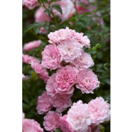 Rose Super Fairy - Climbing Rose