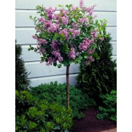 Dwarf Korean Lilac Tree - Syringa Palibin - PATIO Standard Tree - 70-80cms tall