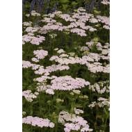 Achillea millefolium Lilac Beauty - Yarrow