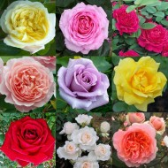 Luxury Garden Roses - Premier Collection - Pack of SIX Different Bush Roses