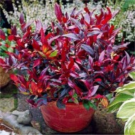 Leucothoe Zeblid Scarletta Plants - Perfect for Patio Planters