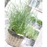 Juncus effusus Spirilis - Corkscrew Rush - Pack of THREE
