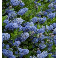 SPECIAL DEAL - Ceanothus Victoria - Evergreen Californian Lilac - Pack of THREE Plants