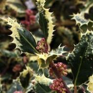 Ilex aquifolium Ferox Argentea - Hedgehog Holly