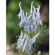 Corydalis flexuosa ''China Blue''