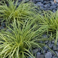 Carex oshimensis Evergold - Japanese Sedge