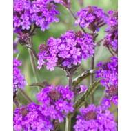 Verbena Rigida - Low Growing Perennial Purple Verbena
