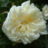 Rose Alberic Barbier - Rambling Rose