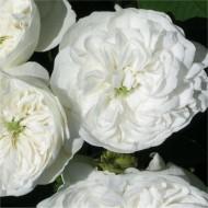 Rose Madame Hardy - Mme Hardy Shrub Rose