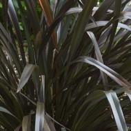 Phormium cookianum Platts Black - New Zealand Flax