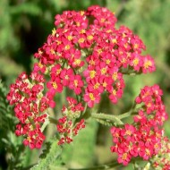 Achillea millefolium 'The Beacon' - Fanal Yarrow