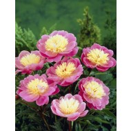 Paeonia Bowl of Beauty - Paeony / Peony