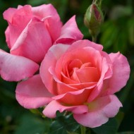 Rose Lovely Lady - Hybrid Tea Rose