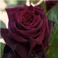 Rose Black Baccara - Hybrid Tea Rose