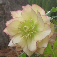 Helleborus Golden Lotus - Rare Double Flowered Yellow Hellebore