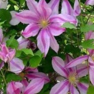 Large 6-7ft Specimen Climber - Clematis Nelly Moser