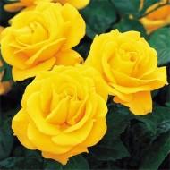 Rose Golden Wedding (Anniversary)