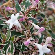 Abelia grandiflora Confetti