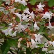 Abelia grandiflora Evergreen - LARGE SPECIMEN