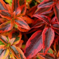 Abelia Kaleidoscope - Multicoloured Evergreen Abelia - LARGE SPECIMEN