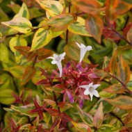 Abelia Kaleidoscope - Multicoloured Evergreen Abelia