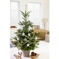 LARGE Potted Blue Cone Korean Fir - Abies Koreana - Fresh Christmas Tree + Immediate Dispatch +