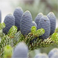 Abies Koreana - Blue Cone Korean Fir - LARGE - 150-200cm Tree