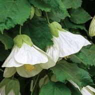 Abutilon hybrida White - Flowering Maple
