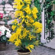 Acacia dealbata 'Gaulois Astier' - Mimosa Tree - 70-100cms