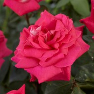 Rose Acapella