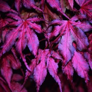 Acer palmatum Amagi Shigure - Rare Japanese Maple with Unique colouring