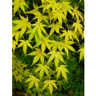 Acer palmatum Aoyagi - Japanese Maple