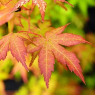 Acer palmatum Bihou - Bi Hoo Golden Coral Bark Japanese Maple