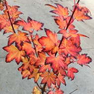 Acer circinatum Burgundy Jewel - Vine leaved Maple