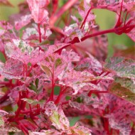 Acer × conspicuum 'Red Flamingo' - Snake bark Maple
