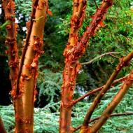 Acer griseum - Paperbark Maple