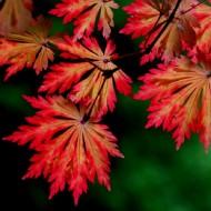 Acer japonicum Aconitifolium - Full Moon Maple