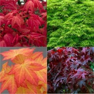 Stunning Japanese Maples - Acers Collection of FOUR Plants