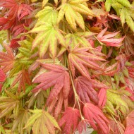 Acer shirasawanum 'Moonrise' - Japanese Maple