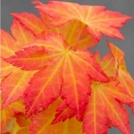 Acer palmatum Orange Dream - Special Japanese Maple