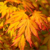 Acer palmatum Cascade Gold - Golden Foliage Weeping Waterfall Japanese Maple