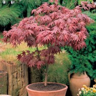 Acer palmatum atropurpureum - Purple Japanese Maple